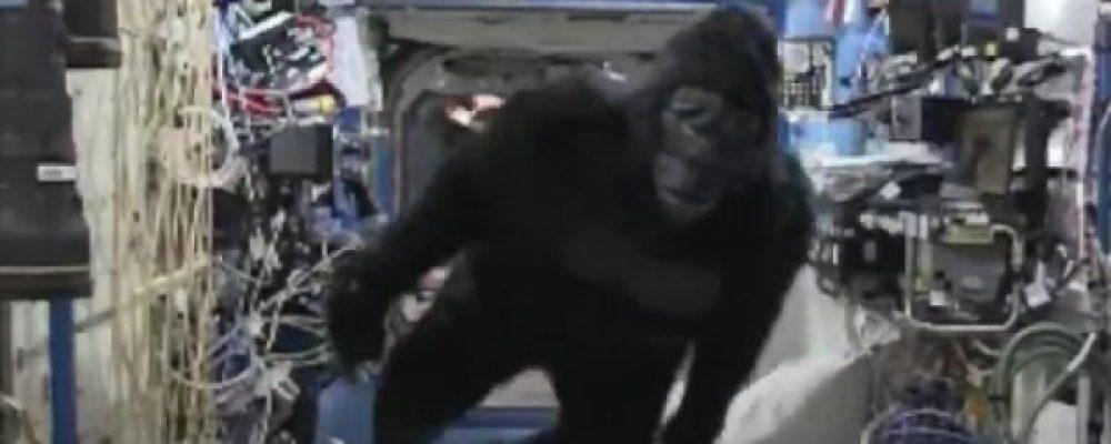 Fursuit di gorilla insegue gli astronauti sulla ISS!